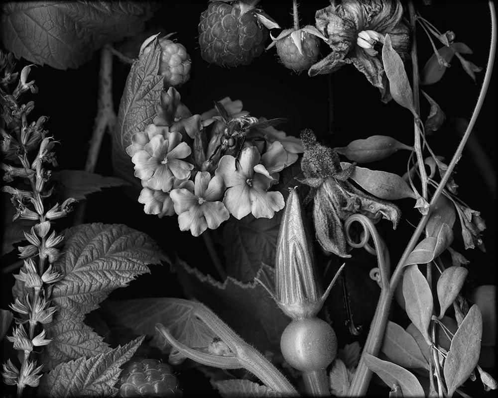 Hungry Bee and Raspberries  2015