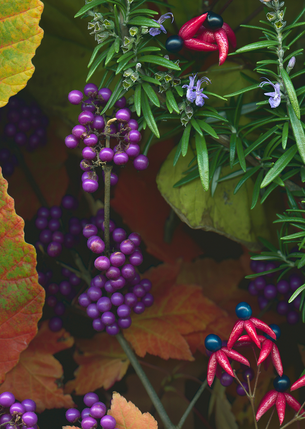 Beauty Berries and Glory Bower, Fall 2014