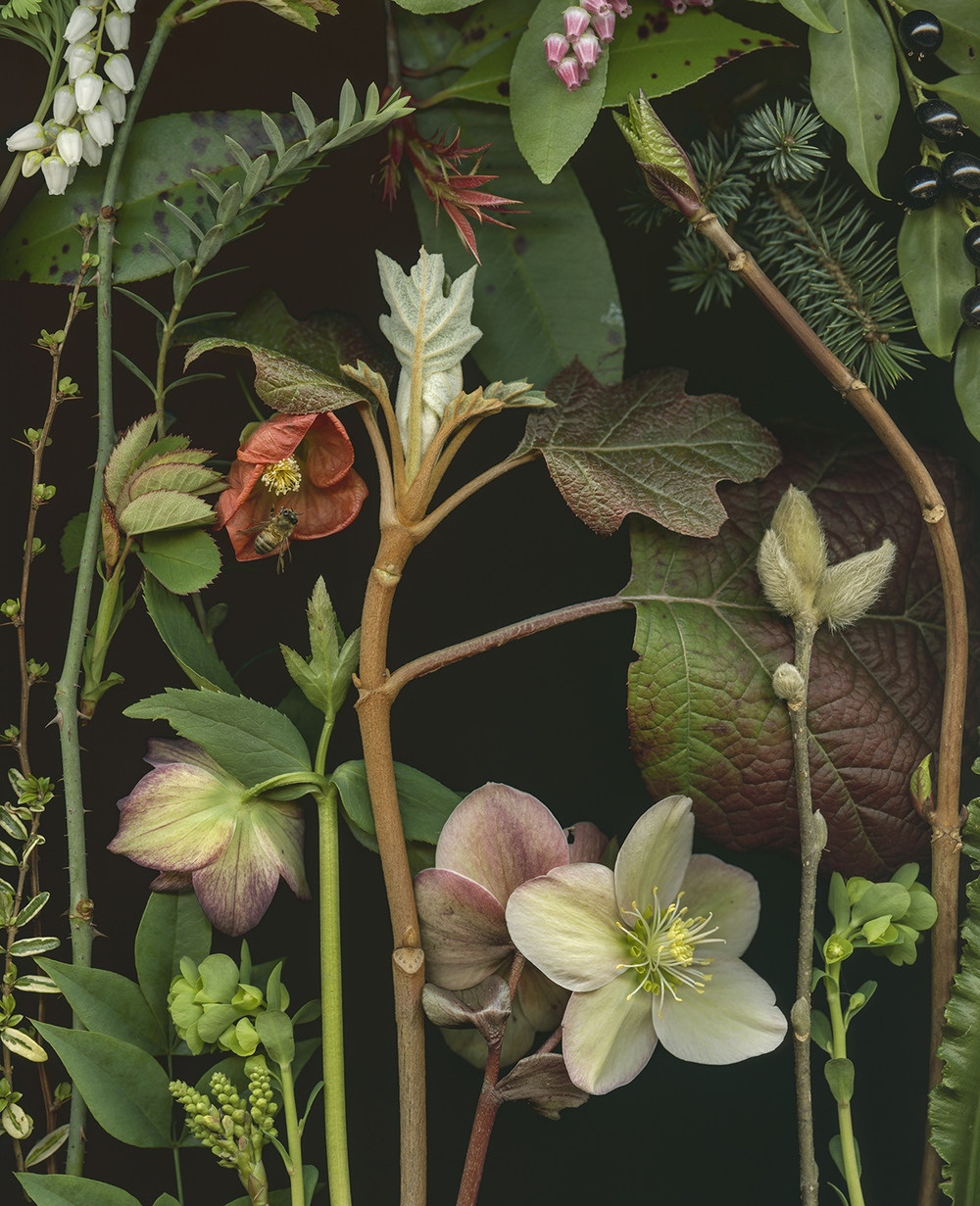 Hellebore and Japonica in Winter