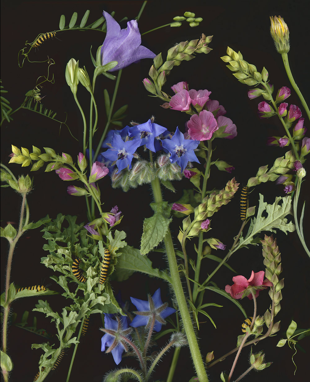 Caterpillars, Tansy Ragwort and Borage