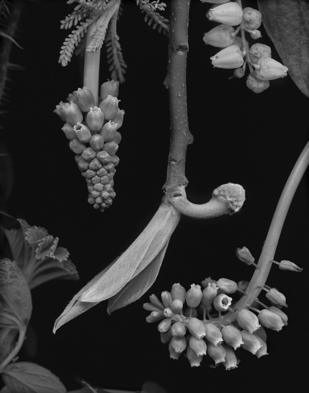 Edgeworthia