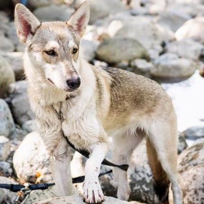 Sitka (White Elk Áine)