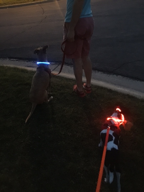 Terrible picture quality, but I love their glow collars for our night walks!