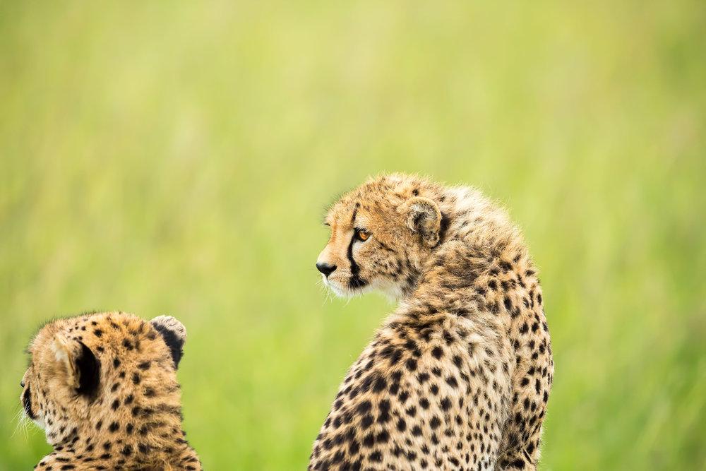 Cheetah_iStock-480587127.jpg