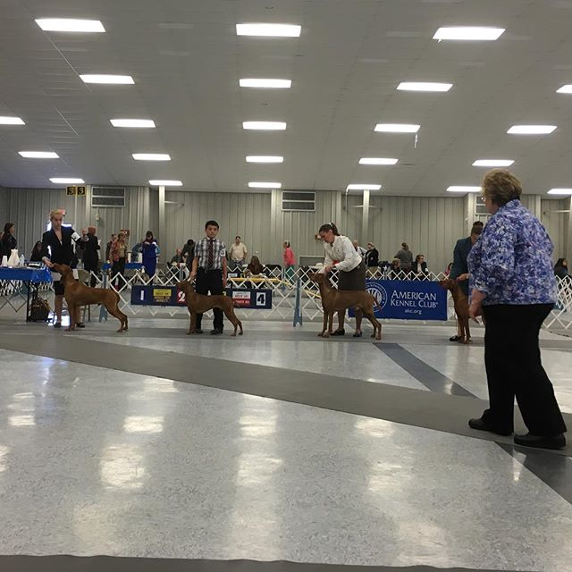 Congrats to Rocky who won Best of Breed, Blue for Winner's Dog, and Hallie for Winner's Bitch and Hank for going Reserve today at the #brazosvalleykennelclub!! Congrats to all!!!