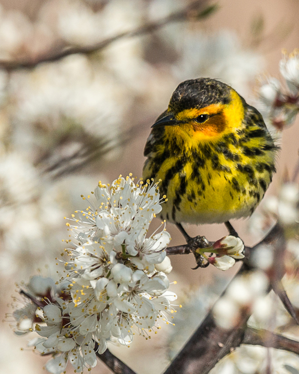 Warbler on Flower