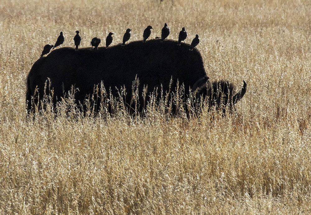 Bison Passengers