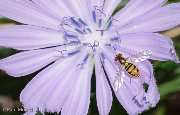 cornflower_with_insect.jpg