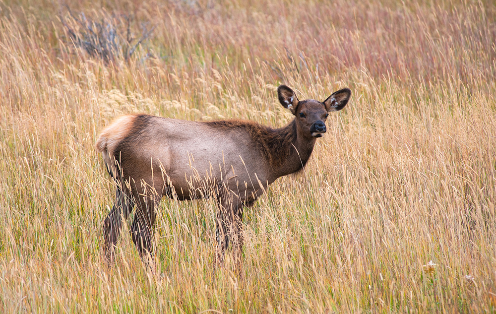 Young Elk In Grasses.jpg