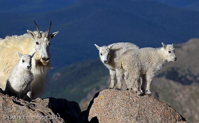 Mt_Evans_Goat_Family_2.jpg