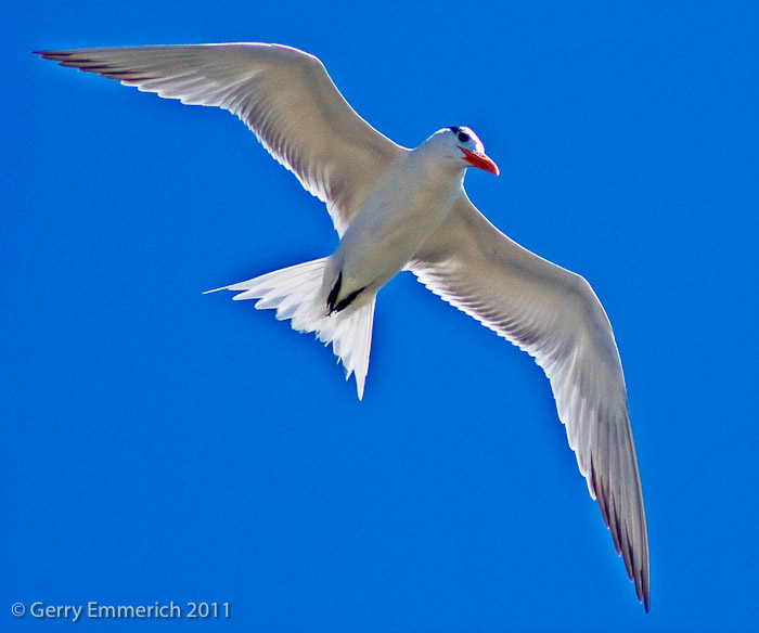 Tern_over_Charleston_2.jpg
