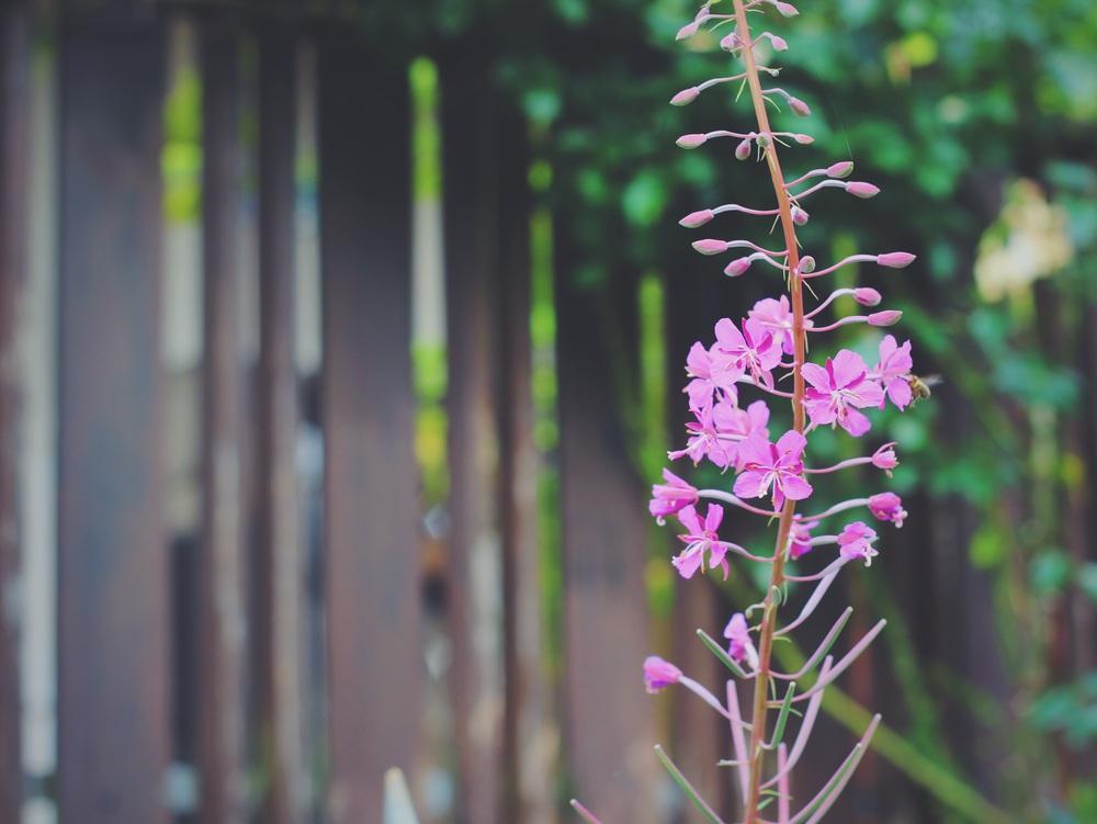 blooming fireweed.