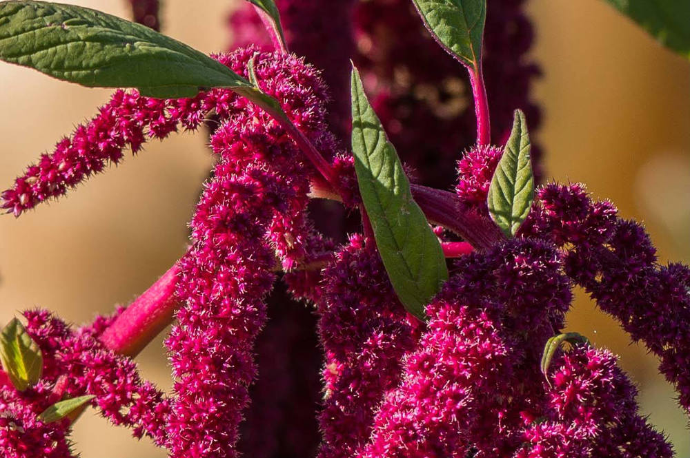 amaranth-flowers.jpg
