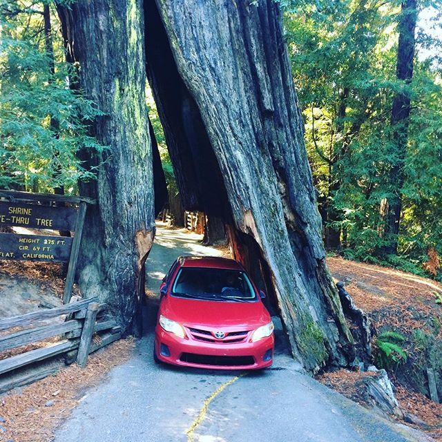 Just went ahead and drove through that tree so... #redwoods #tour #folklife