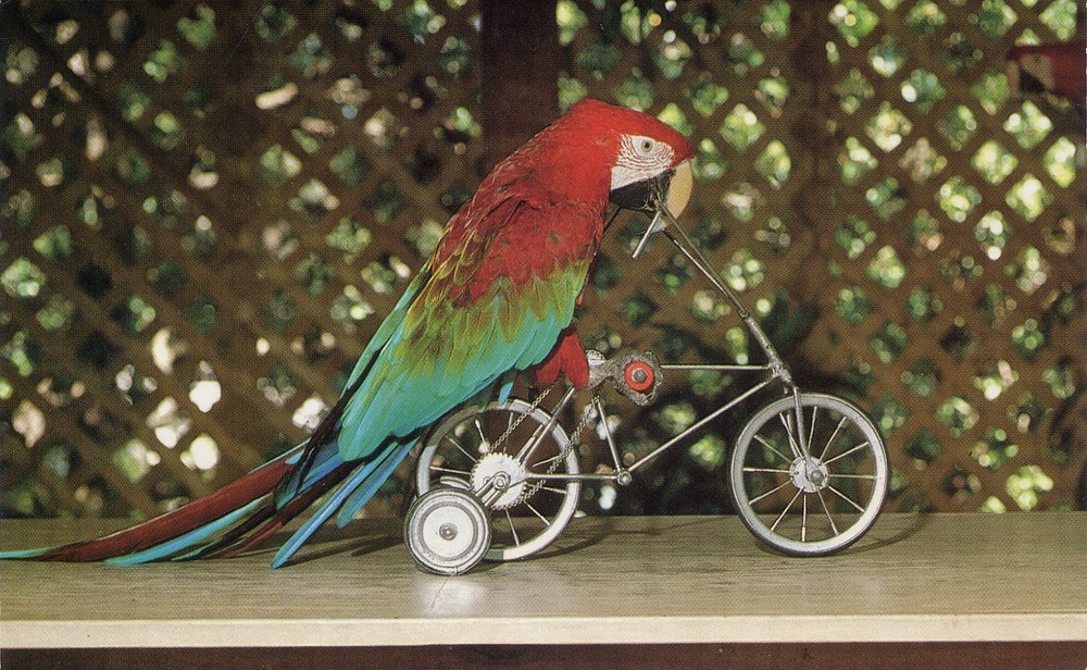 Bertha, the cycling parrot.