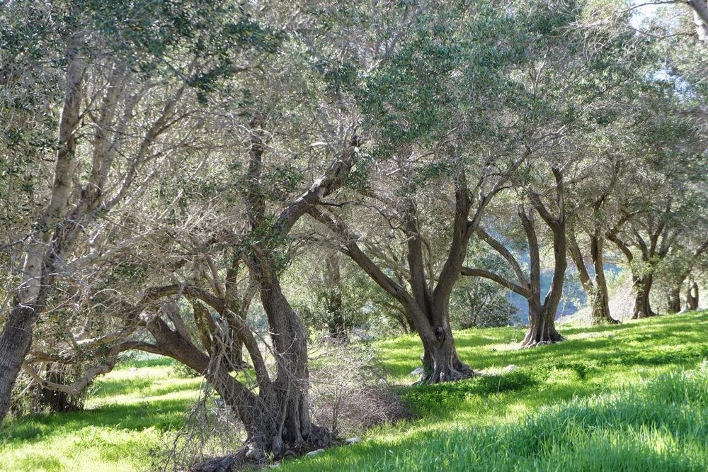Live oak plantation, Santa Cruz Island.
