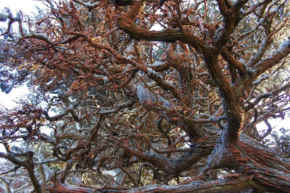 Mold? Mildew? Fungus? Mistletoe? Point Lobos.