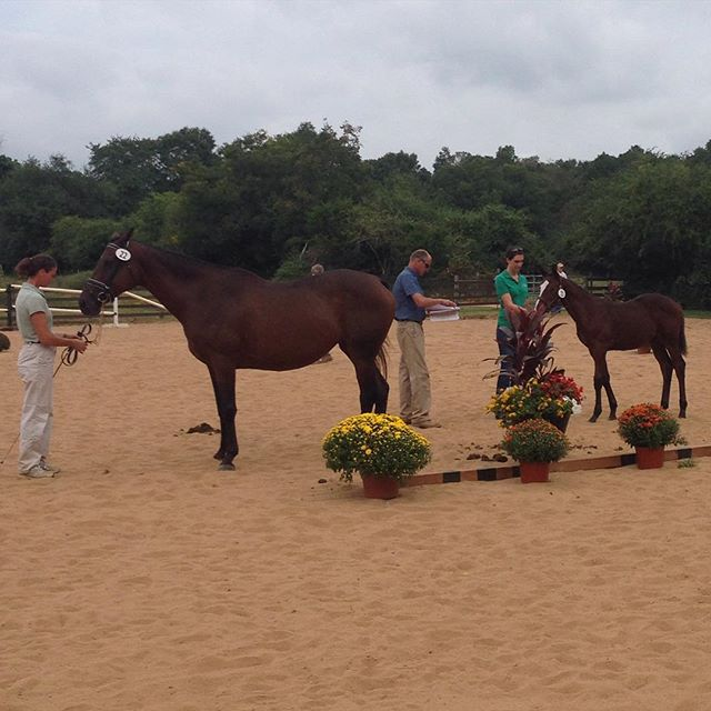A day at the Oldenburg testing. Nautical Testimony (mare) was entered into the Oldenburg NA Main Mare Book. Her filly (CG Cayenne) was approved for the Oldenburg NA Registry.  Congrats Robin and Erin!  #Oldenburg #sporthorse #horse #equestrian #equestrianlife #filly