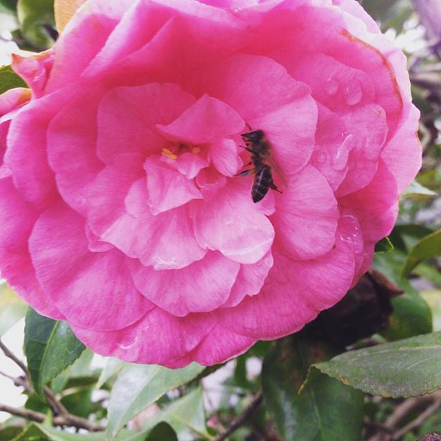 A very warm Merry Christmas y'all. Quite literally... Yes, that's a #honeybee. Yes it's 78 degrees. #scary #camellia