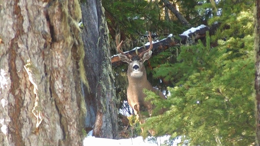 A rare genetically gifted buck. This black tail was tracked down on public land on video. He is showcased in the app as well.