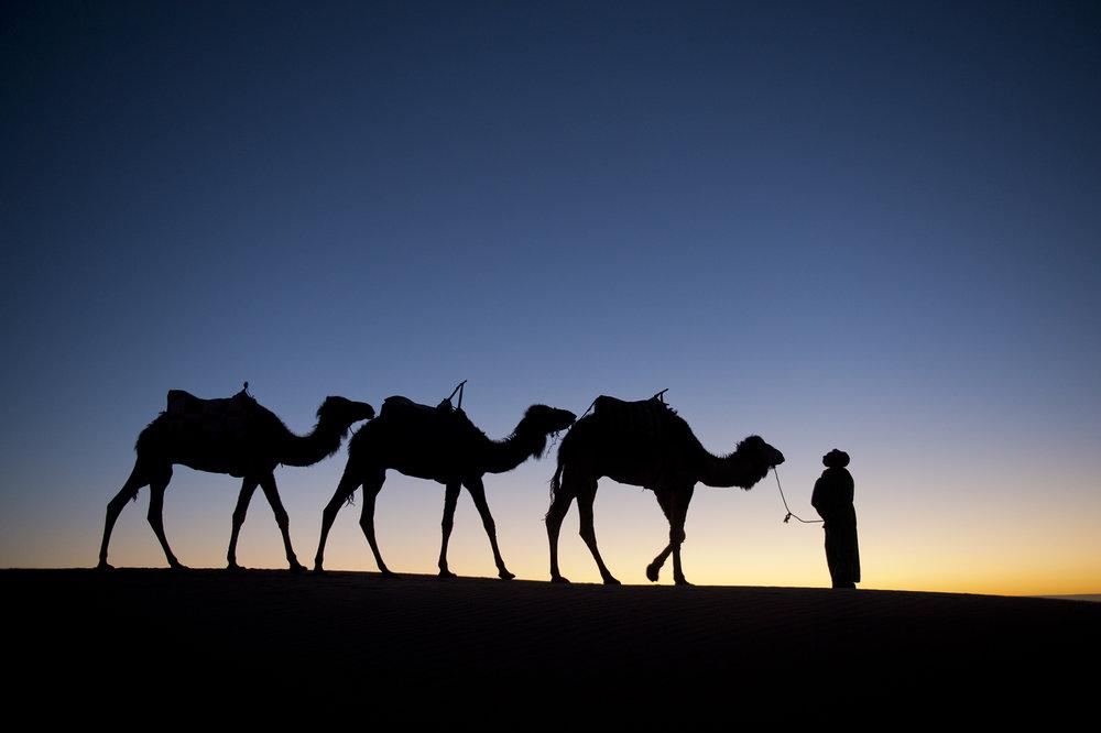 Camels Sahara Desert 2.JPG