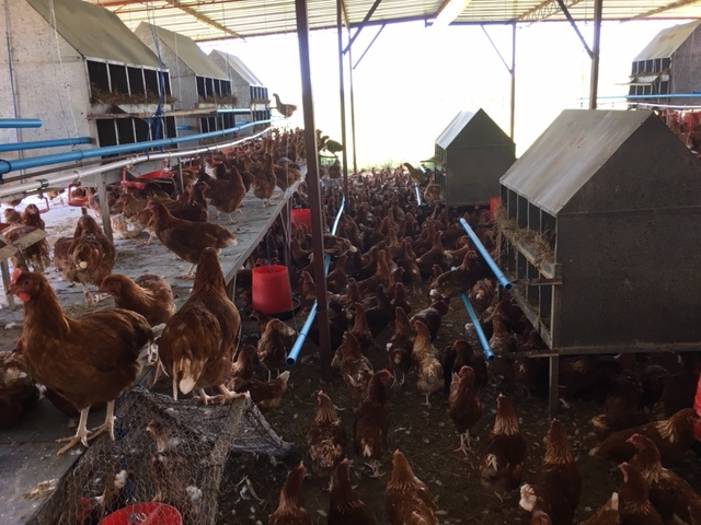 A sneak peak into the arrival of the chickens into their new coop at Fruitful Harvest.