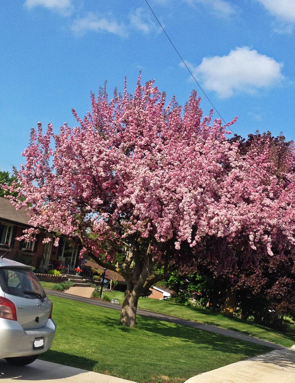 Pink blossom tree 1