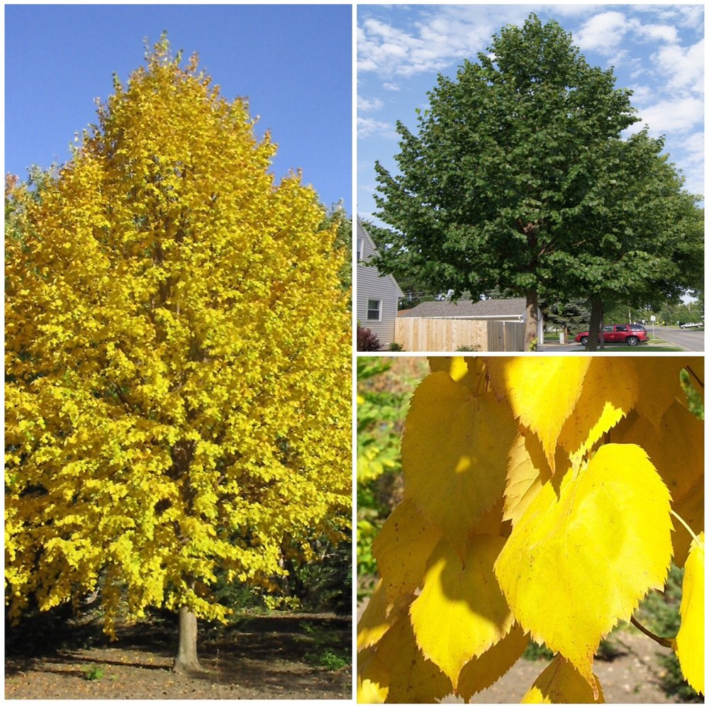 Harvest Gold Linden Tree    Photo Courtesy of Jeffries Nurseries Ltd. & North Dakota Tree Selector