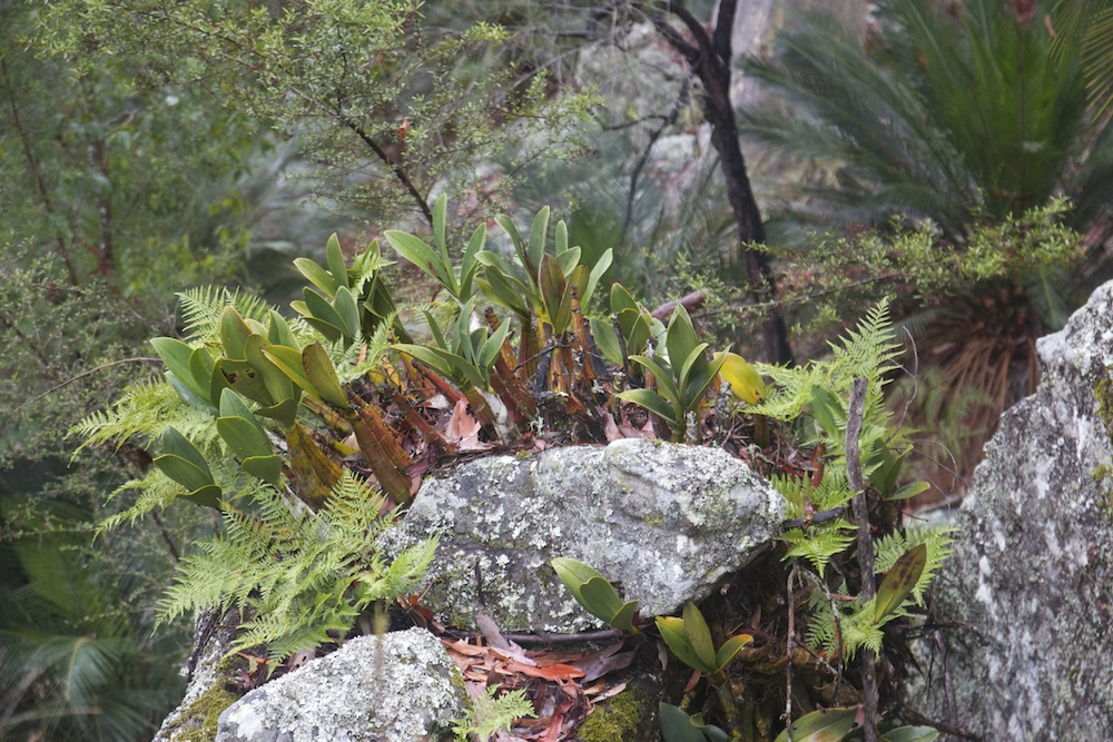 Rock Orchids, Haunted Point, Bundanon