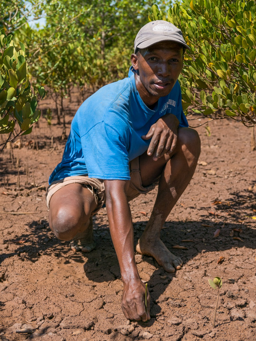 Armand, a reforestation employee, planting a mangrove