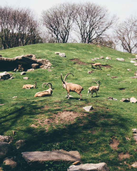 """1st place: @Tutes """"The Bronx Zoo made me feel like I was in another country!"""" Nubian Ibex"""