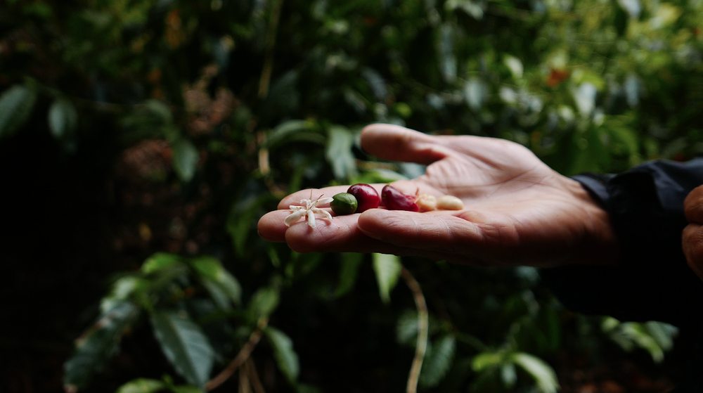Boquete Coffee tour from flower to bean Tree Trek Panama