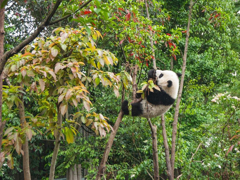Panda Things you must do in China Claire Wang Travel Women