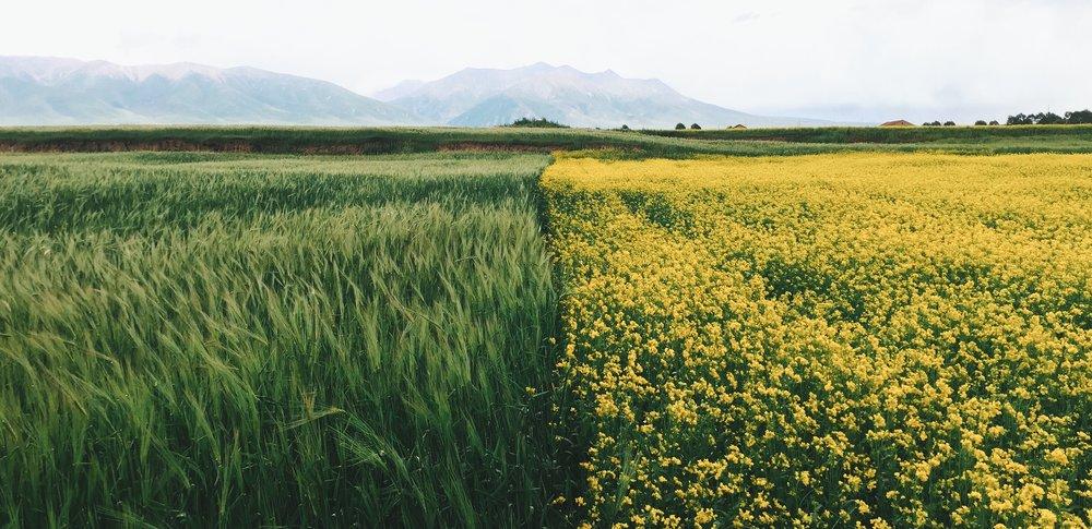 Canola fields Xinghua Things you must do in China Claire Wang Travel Women