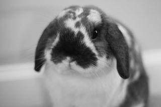 holland_lop_rabbit.jpg