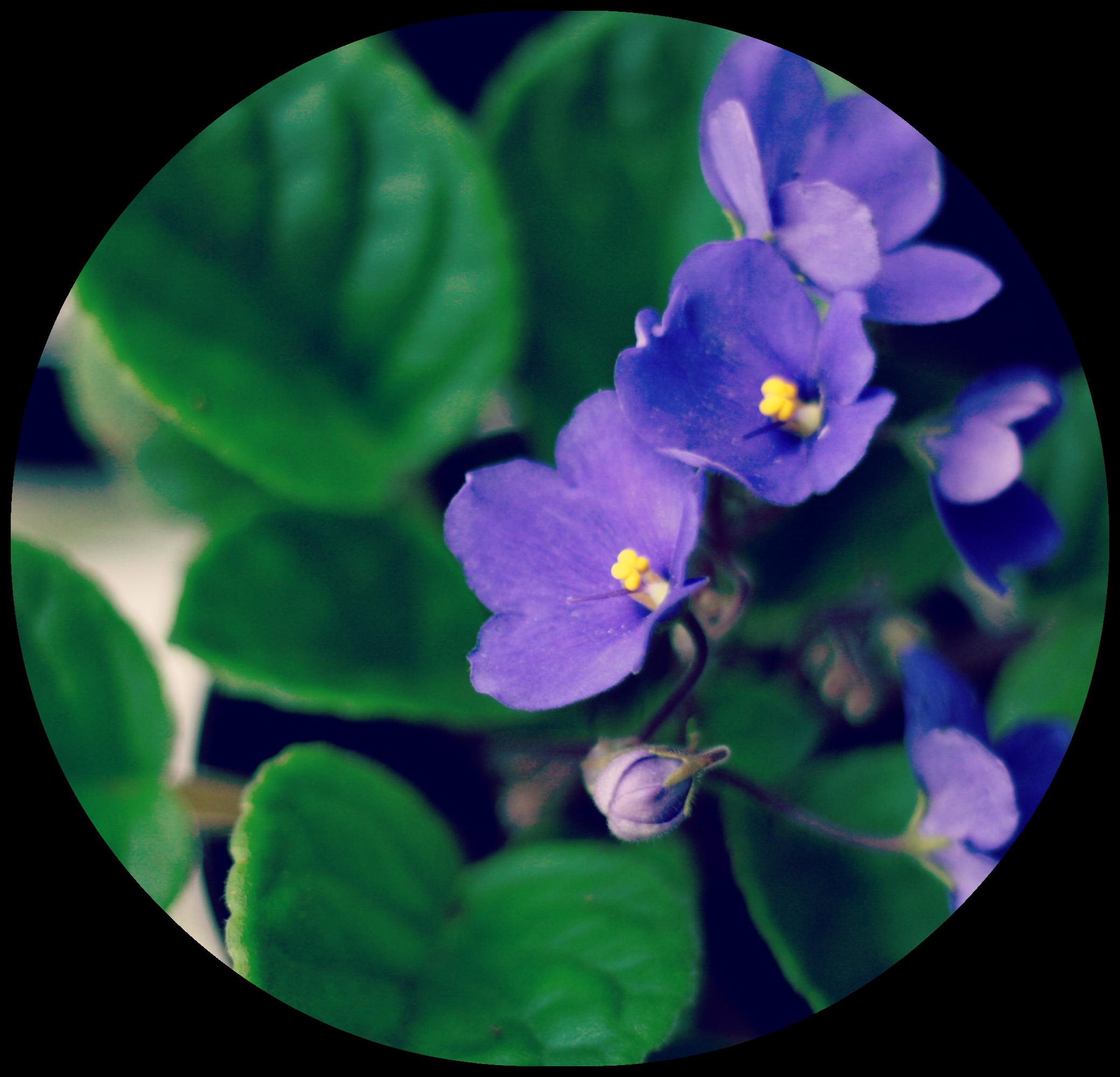 round_violets