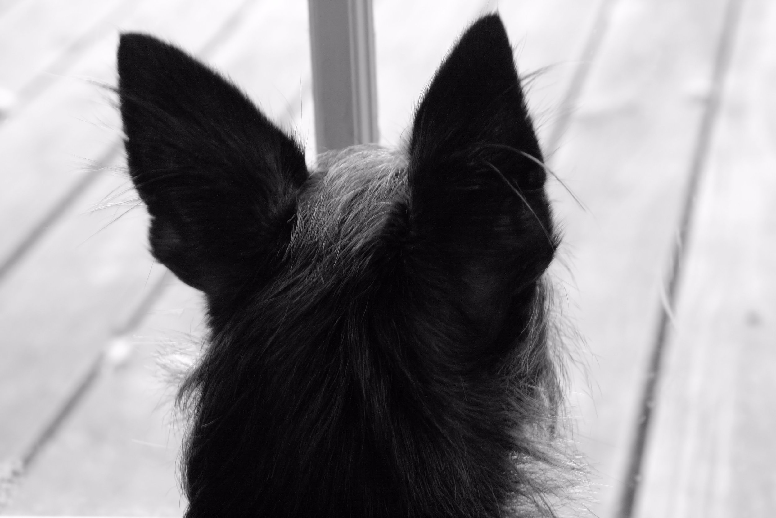 dog, window, photograph, black and white