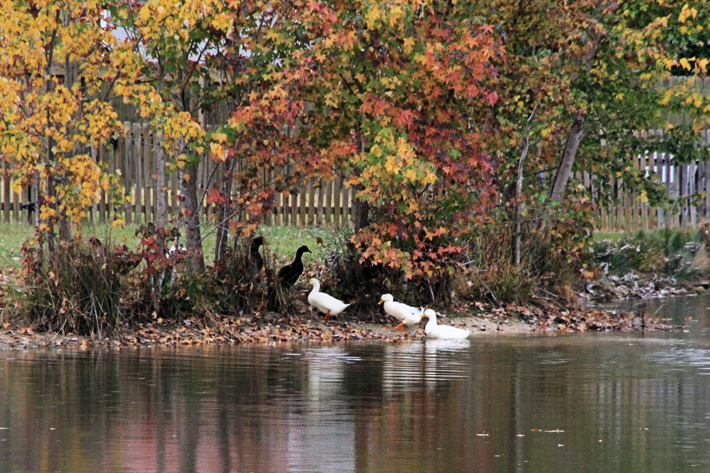 Photo of Pond with Ducks and Red and Yellow Maple Trees by TorchFire Studio