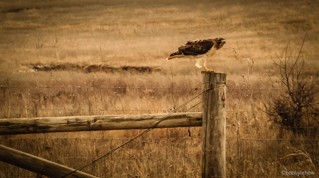 oklahoma hawk fencepost