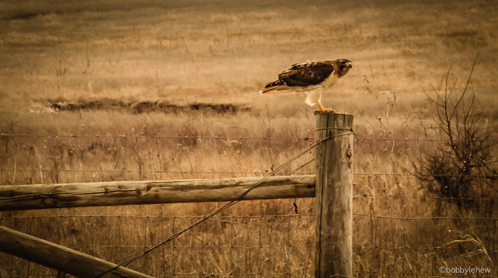oklahoma hawk fencepost.jpg