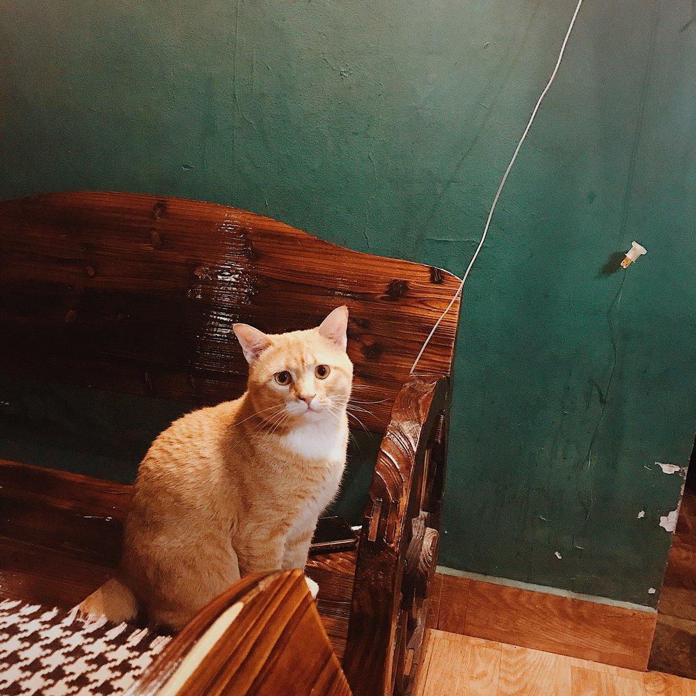 Chú mèo béo siêu dễ thương cứ hay đi loanh quanh nhìn yêu ơi là yêu
