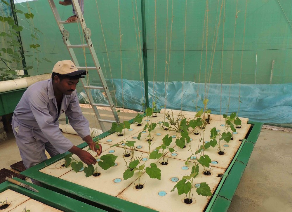 Maintenance staff tend to young plants in a Deep Water Culture (DWC) system.