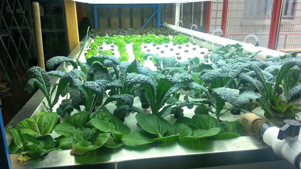Choi, Kale and Basil at Scadding Court Aquaponics