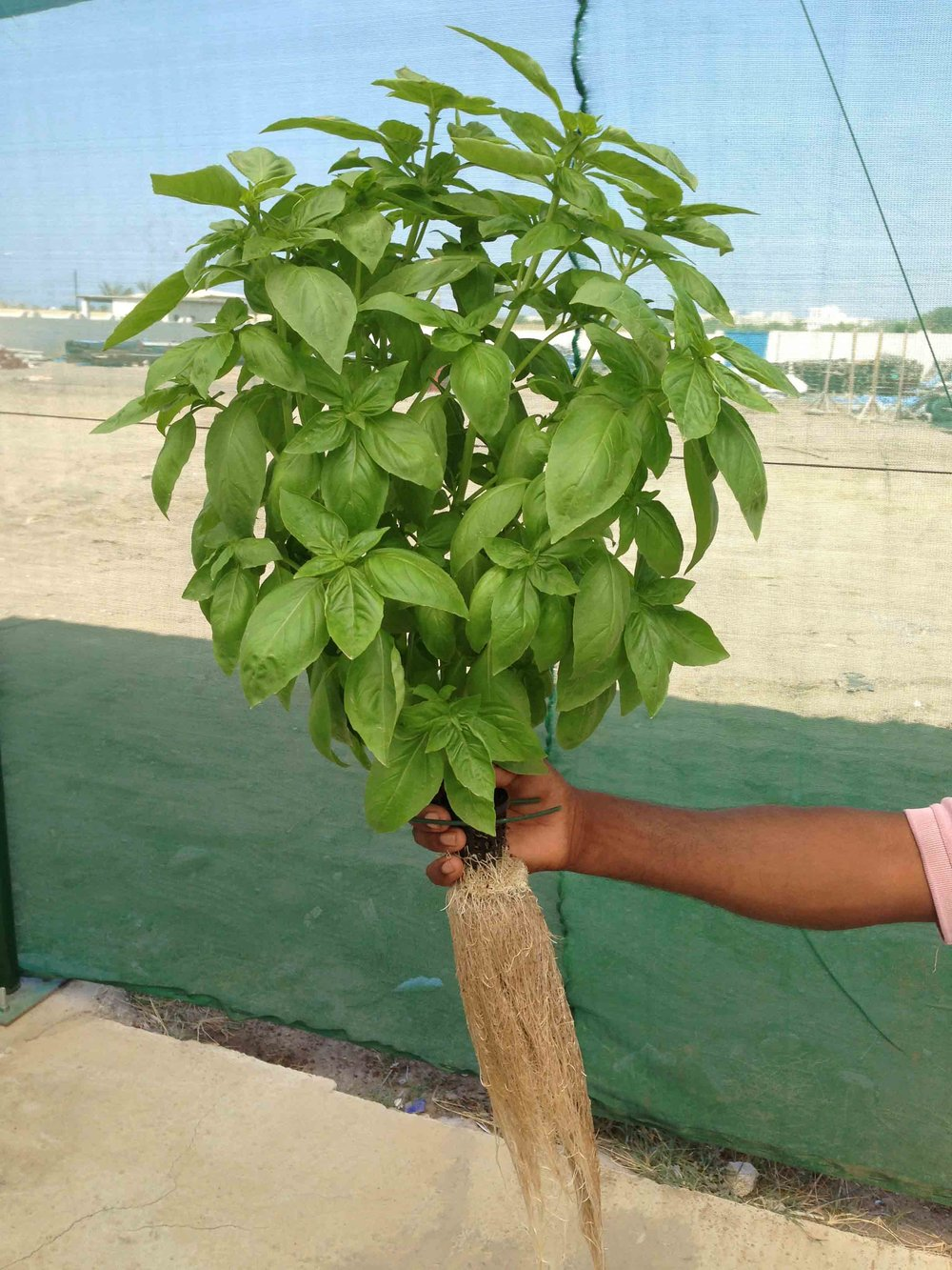 A healthy basil plant from an aquaponics system in Oman.