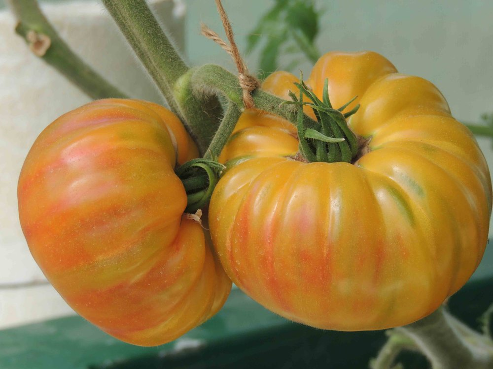 Tomatoes swell and ripen from the abundant nutrients in an aquaponic system.