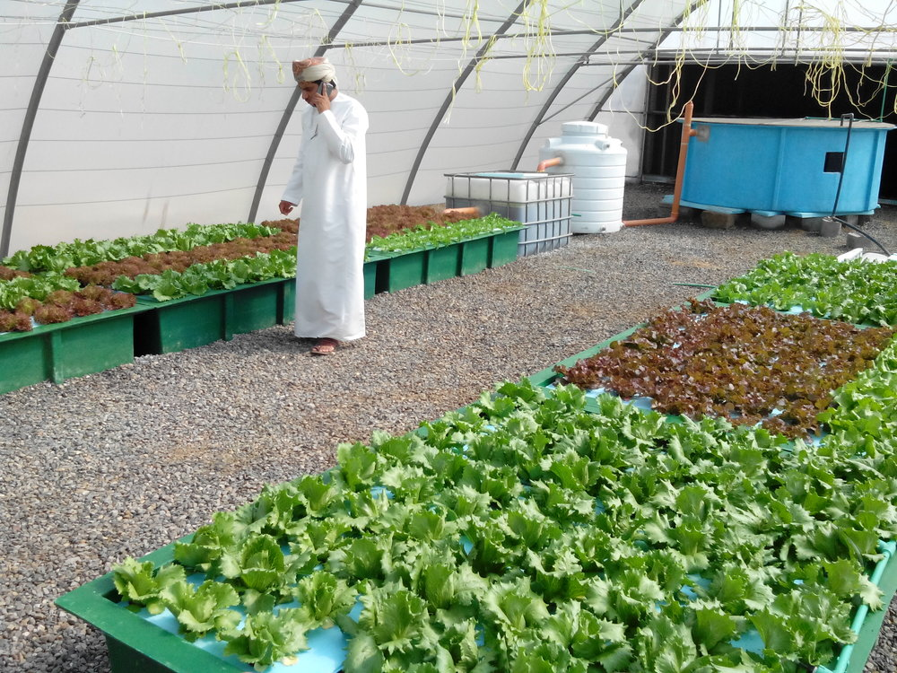 Checking out the impressive growth rates at the Sultan Qaboos University Aquaponics Research System.