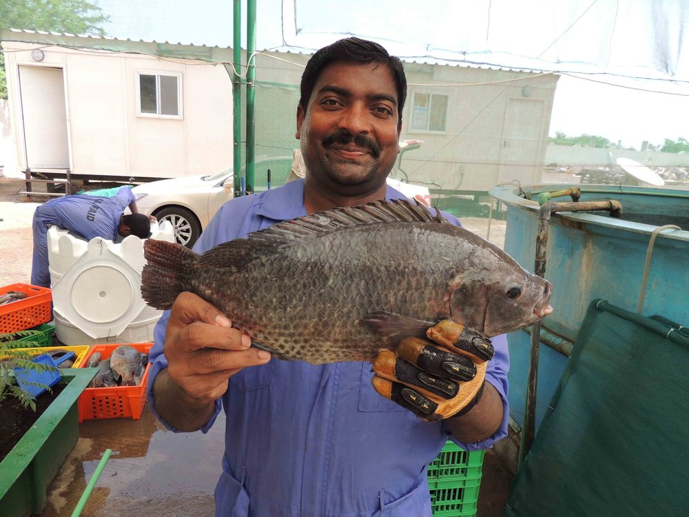 Aquaponic Tilapia in Oman