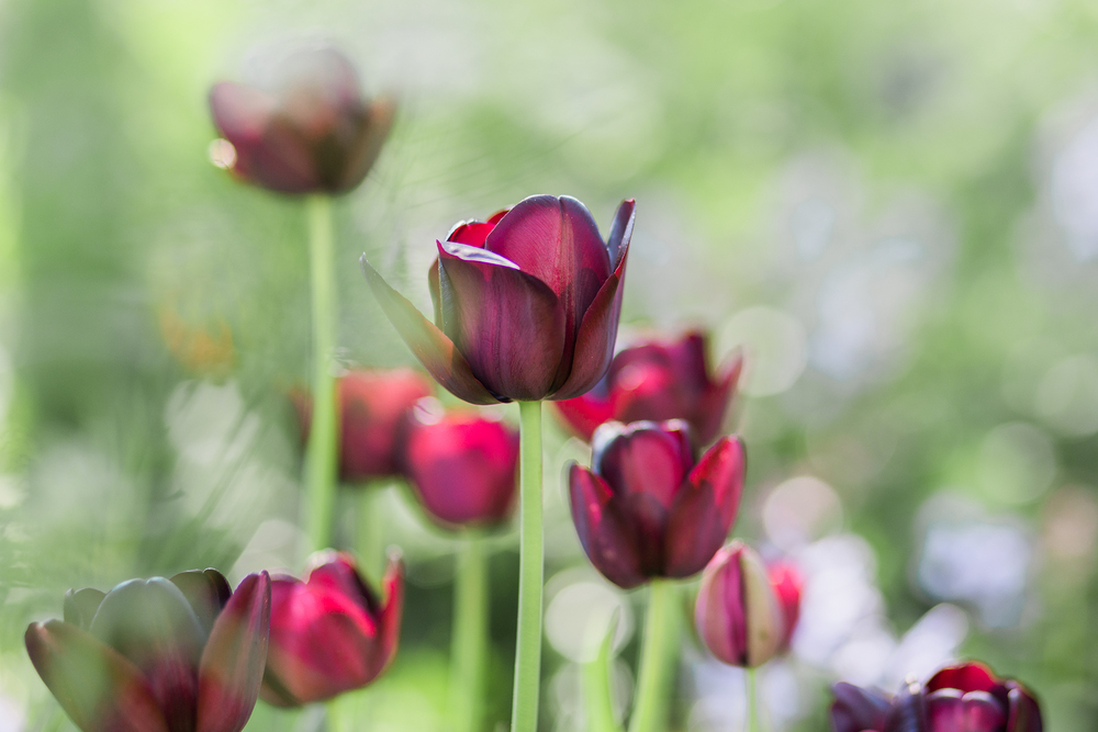 tulip-photography-amsterdam.png