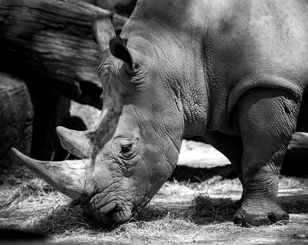 Rhino at the Bronx Zoo