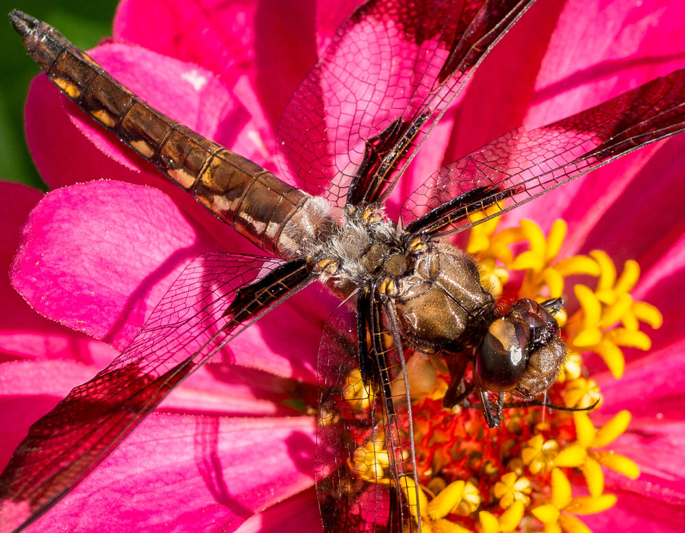 Dragonfly close.jpg
